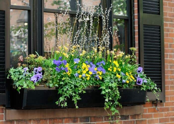 Can pansies grow in shade